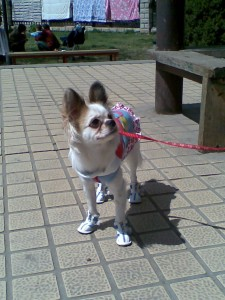 Dog in shoes, etc.