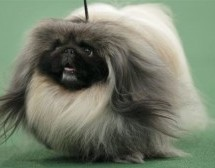 We Interrupt Your Jeremy Lin Propaganda Feed To Inform You A Pekingese Just Won The Westminster Dog Show