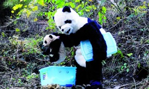 Panda - GT