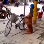 Golden Retriever Guards, Then Sits On Back Of, Bike