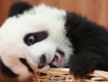 Daily Mail Asks: Is This The Cutest Panda Ever? [Poll]