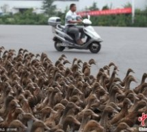 Why Did These Ducks — All 5,000 Of Them — Cross The Road? [UPDATE]