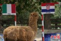 Tianjin Llama Predicts The Shit Out Of Euro 2012