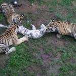 Bengal mauling