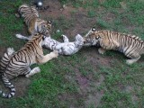 Bengal Tigers Murder White Cousin In Shandong Zoo