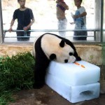 Here's A Giant Panda On A Block Of Ice