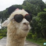 And Now Here Is A Pet Llama That Loves Liu Xiang