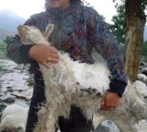 Lightning Smote Nearly 200 Sheep In Xinjiang, Killing Them All