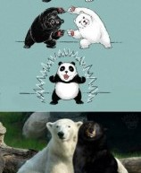 Black Bear + Polar Bear = Panda Bear