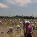 Today In New World Records: Rice Transplanting In Taiwan