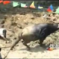 Here's A Bullfight In Guizhou, And Of Course It's Funny