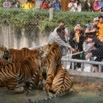 Tiger tug-of-war 1