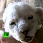 Watch: White Lion Cub Finds Home With Puppy Litter, Dog Mom