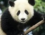 Pandas might be source of powerful new antibiotic