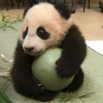 Xiao Liwu, San Diego Zoo's Newest Panda, Is A Ball Of Cute