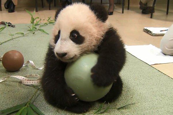 Xiao Liwu panda