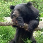 Asiatic Black Bears Rescued From Bile Extraction Farm In Sichuan
