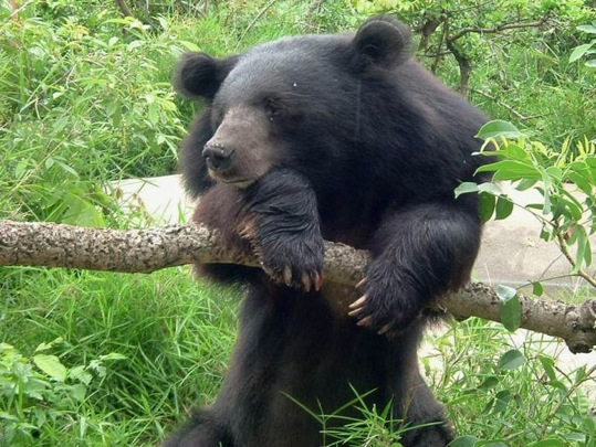 Asiatic black bear 2