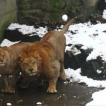 These Lions Are Seriously Pissed Off At You. Yes, You, With The Snowball