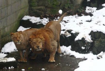 Zoo lions unhappy 2