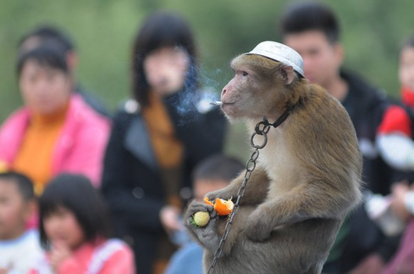 Monkey trained to smoke