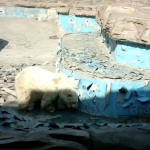 Paltry Beijing Zoo conditions for polar bear featured image