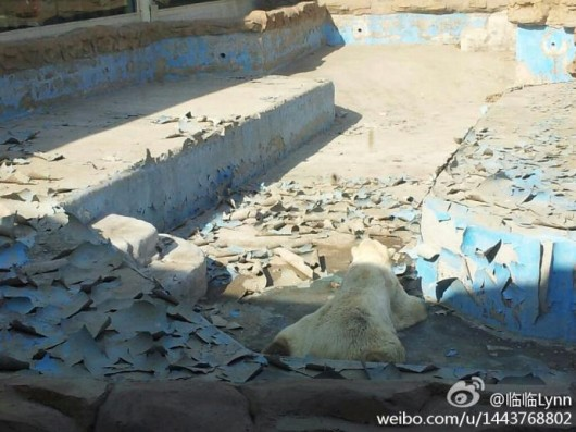 Sad polar bear at Beijing Zoo