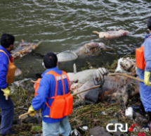900 Dead Pigs Found In Shanghai Waterway [UPDATE: Swine Count Now In The Thousands]
