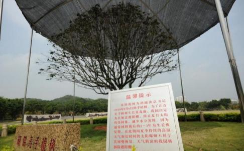 Hu Jintao's tree in Shenzhen