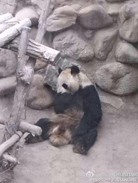 Lanzhou panda
