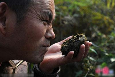 Smelling panda feces for tea
