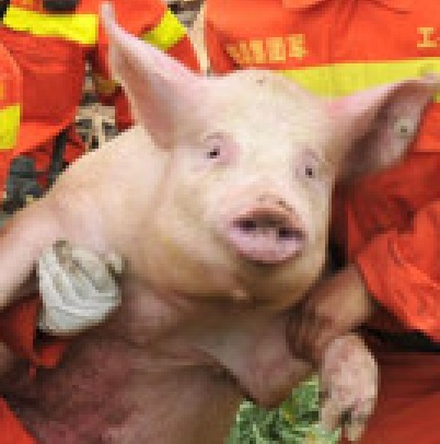 Astonished pig carried to safety in Sichuan zoomed in