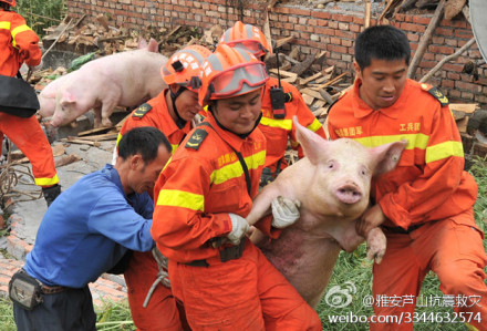 Astonished pig carried to safety in Sichuan