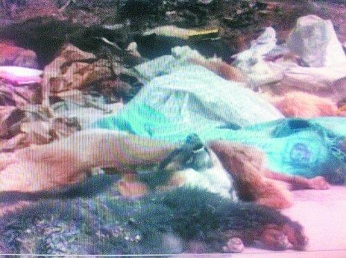 Dead dogs in Luoyang, Henan province