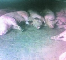 "238 Pigs And 89 Dogs ""Suddenly Dead"" In Chinese Village [UPDATE]"