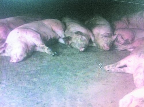 Dead pigs in Luoyang, Henan province