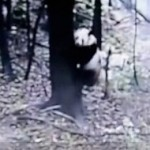 All Of Sichuan's Pandas Are OK, Including This One That Tried To Climb A Tree During The Earthquake