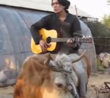 "Man Atop Cow Delivers Perfect Rendition Of Justin Bieber's ""Baby"""