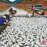 1,177 Tons Of Fish Dead Of Oxygen Deprivation Near Yunnan Hydroelectric Dam