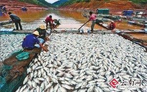 Dead fish in Yunnan tilapia hypoxia