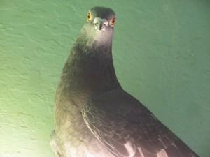 Pigeon confused