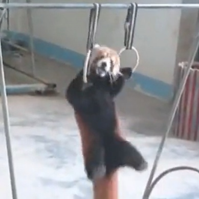 Red panda does pull-ups 1