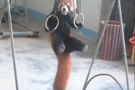 Red panda does pull-ups 2