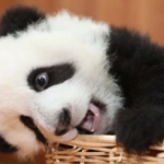 Chillin Baby Panda featured image