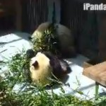 24-Hour Panda Cam For You Panda Pervs