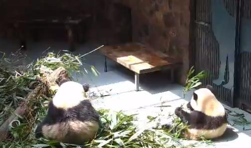 24-hour panda cam2