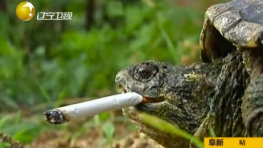 Smoking turtle