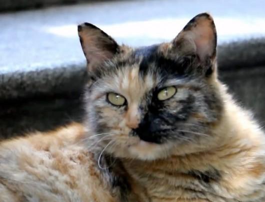 Tsinghua scholar cat