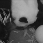 Washington DC Panda Gives Birth To Live Cub, Stillborn