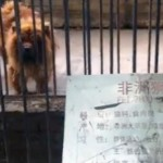 Henan Zoo Discovers It's Hard To Pass Off A Dog As A Lion